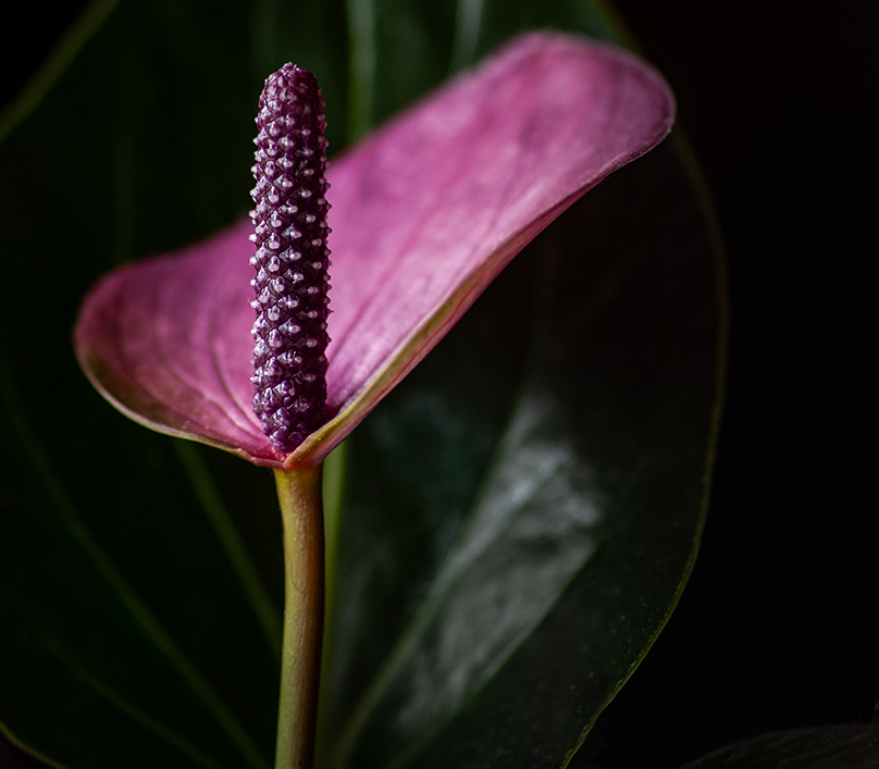 Simple Lily no border-Theremarkableimage-